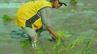 hand planting rice in Leyte