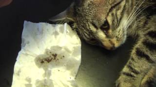 Gabriele Surgery: Cat with Ear-Mites