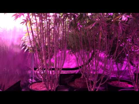 Oneshot Grow Guide – Episode #4 – Advanced Training Techniques, Lollipopping Cannabis plants