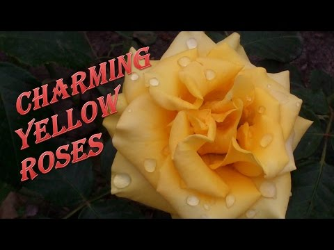 Прекрасные #цветы. Желтые #розы.
