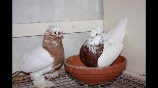 Туркменские Бойные голуби , Гон ( Казахстан )