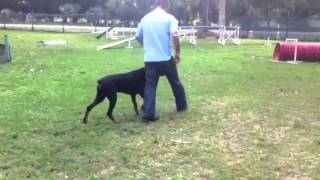 Florida Dog Academy - Basic Obedience Training With Doberman Vader (02)