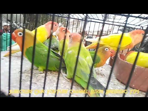 Love Birds Price In Pakistan Olx Sunday Market Video 2020 In Urdu Hindi