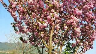 오갈피나무 만첩개벚 겹벚꽃나무 꽃말 만능  순결