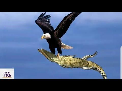 عندما يغضب النسر الوحش الطائر  فلوزن والحجم  لايهمان شاهد كيف انتهت المعركة!!