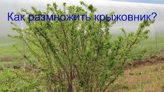 видео Размножение роз черенками летом и весной, окулировка, семенами, отводками
