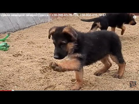 фото овчарки щенки