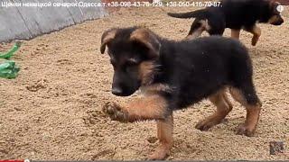 МОРЕ ПОЗИТИВА Funny puppies.Щенки немецкой овчарки. Одесса.