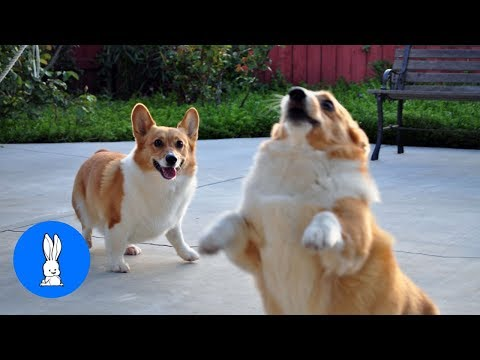Corgi Are The Best // Cute & Funny Compilation