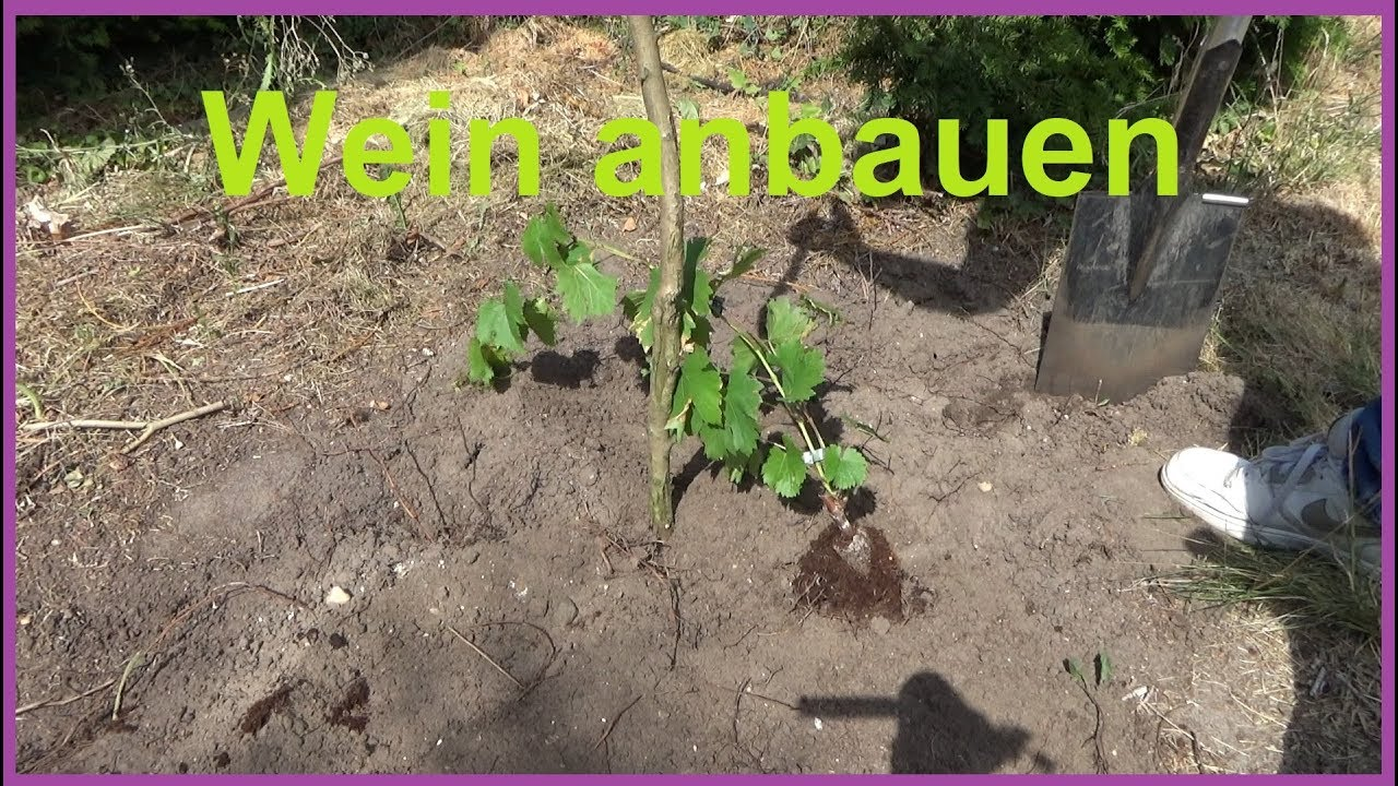 Lieblings Weinreben pflanzen im Garten Wein anbauen Weintrauben einpflanzen &SO_57