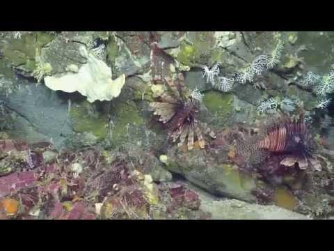 Marvelous Creatures of Conrad Seamount | Nautilus Live