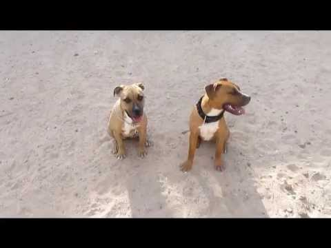 Chinaman, Eli, Gator, Redman pitbulls  8months