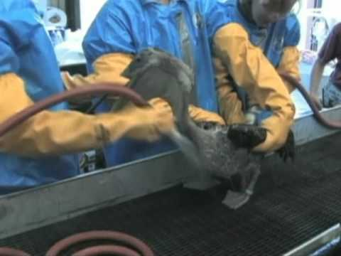 Gulf Oil Spill Killing Thousands Of Animals