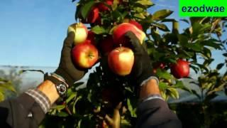 Panen Apel New Zealand Pohonnya Kecil Namun Buahnya Sangat Melimpah
