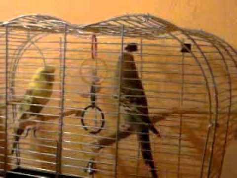 dancing vogel