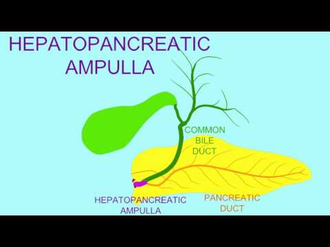 HEPATOPANCREATIC AMPULLA - YouTube