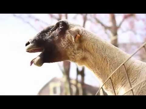 Голоса и звуки животных для детей