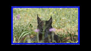 Breaking News | Rare Iberian Lynx Released In Portugal 2 Years Ago Seen In Catalonia
