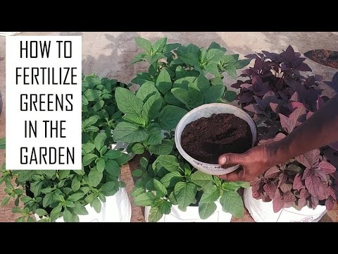 How to fertilize Amaranth greens in Terrace Garden / Leafy vegetables / Home gardening in Tamil Nadu