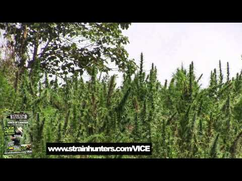 Colombia: Kings of Cannabis w/ VICE (Teaser)