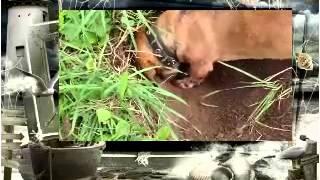 Породы собак Такса Баффи роет нору