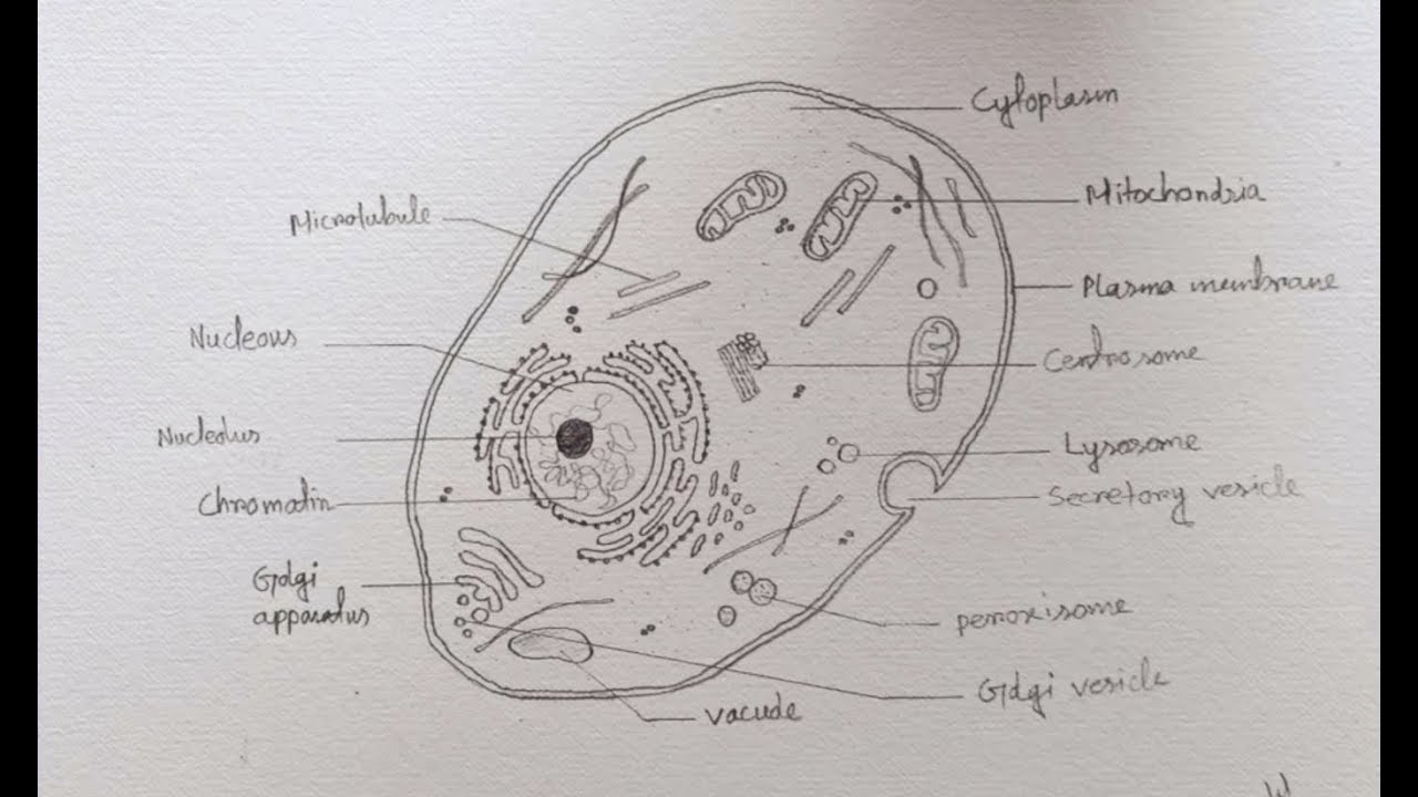diagram of drawing how to draw diagram of animal cell easily step by step youtube diagram of dragonfly draw diagram of animal cell easily