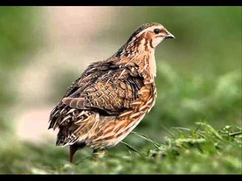 Suara Burung Puyuh Hutan (denak) MP3
