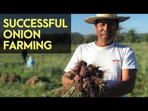 Onion Farming in the Philippines: Why Onion Farming is a Gold Mine