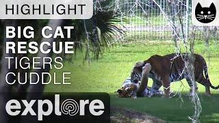 Tiger Cuddles at Big Cat Rescue - Live Cam Highlight