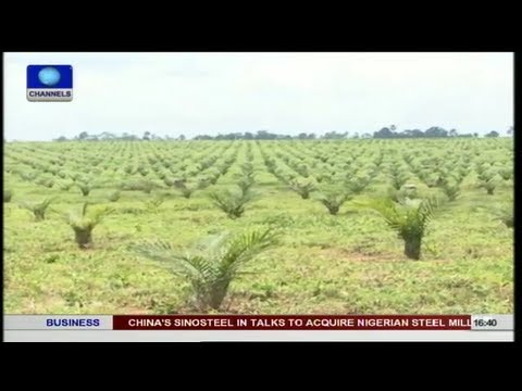 Returning Nigeria To World's Leading Producer Of Oil Palm