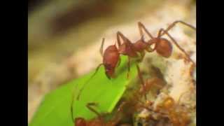 What leafcutter ants do underground