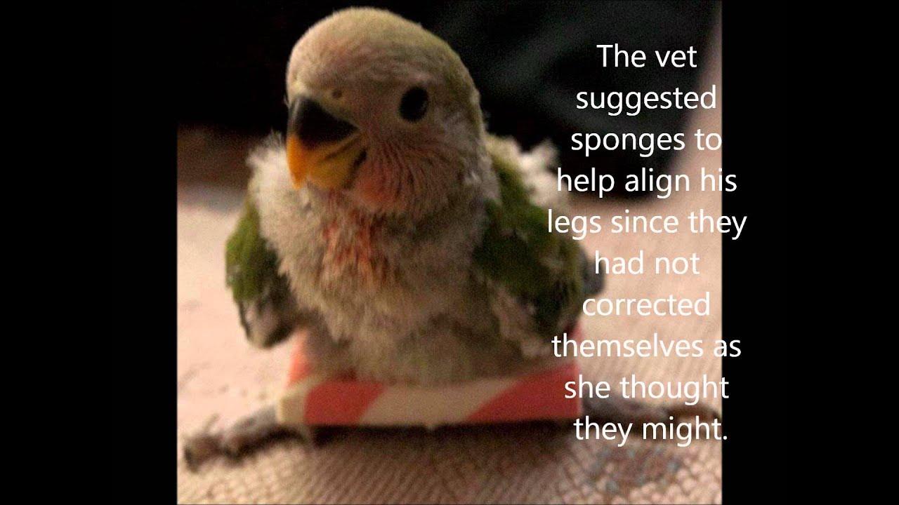 Baby Lovebird Growing Up With Splay Leg Wmv