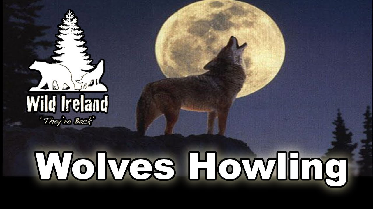 Wolves Howling At The Moon Youtube