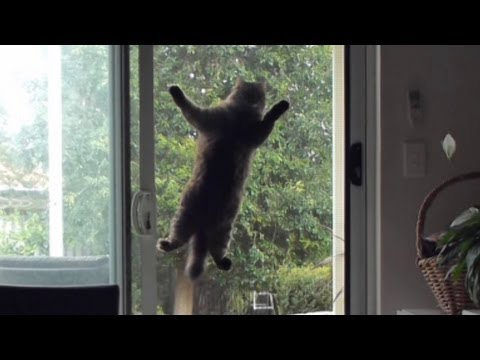 Cats mission - Cat jumps onto screen door for better view. Cassie's funny cat video.