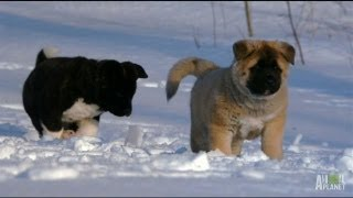 Akita Puppies Play in the Snow | Too Cute!