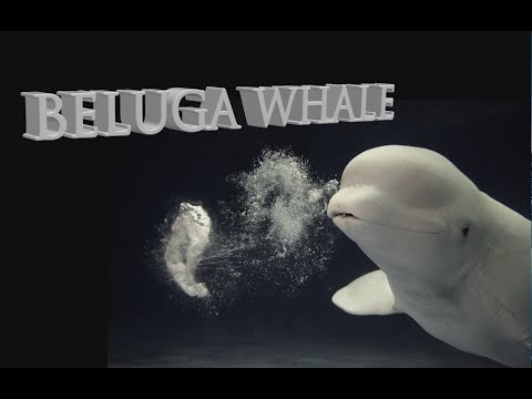 The Magical Beluga Whale, Capturing Wild Belugas
