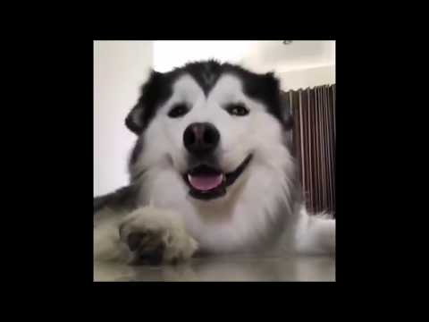 Funny dogs vine compilation 2