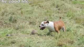 Play Date With Marley - Staffordshire Bull Terrier & Pit Bull Cross