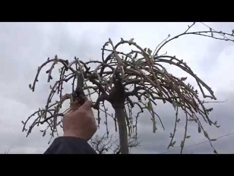 Верба плакучая. Весенняя обрезка после цветения, в форме зонтика  - 3-х  летка.