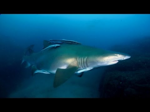 Diving with Grey Nurse Sharks at Wolf Rock (Queensland, Aust