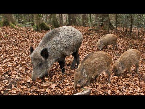 Cinghiali a Monte Porzio Catone