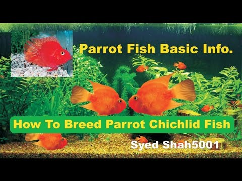 How To Breed Parrot Fish & Care Info. Hindi & Urdu With English Sub