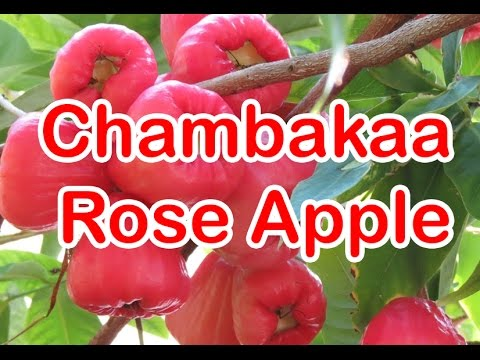 Chambaka (Rose-apple) Rich Content of Vitamin C and Fibre