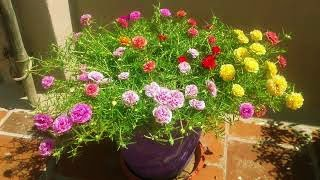 How to grow-Table Rose-Moss Rose-Portulaca Grandiflora-15 COLOR CUTTINGS AVAILABLE