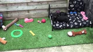 Little Rascals Uk Breeders New Litter Of Miniature Dachshund Pups - Puppies For Sale 2015