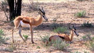 Free Stock Footage Wildlife Strange Springbok Behavior - Africa Travel Channel in HD