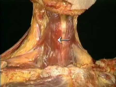 Анатомия человека. Гортань.