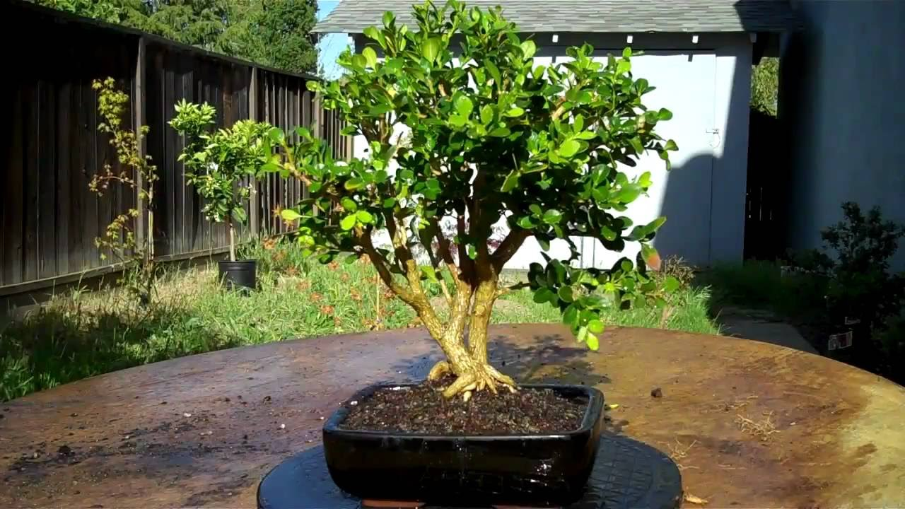 What Are Boxwood Bonsai Trees Care Guide Youtube