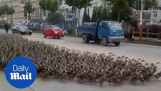 Herd of ducks march in the middle of a busy street in China