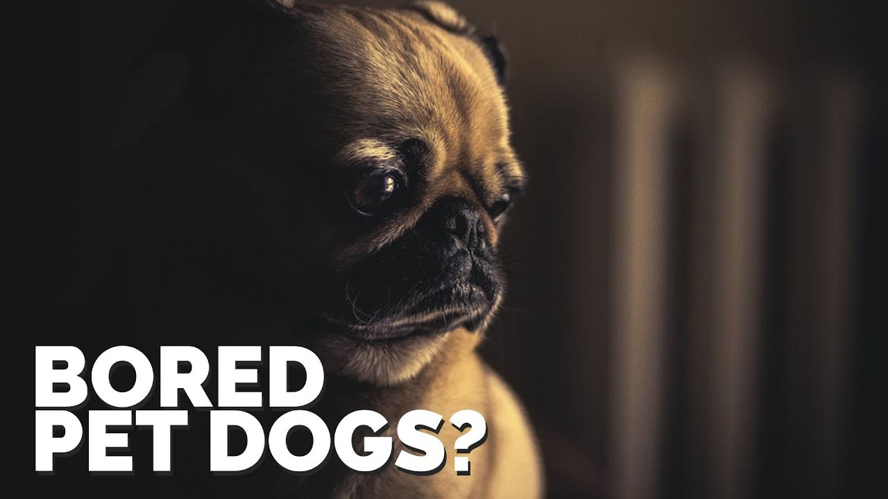 Bored Pet Dogs?